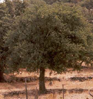 Downy Oak, Quercus pubescens