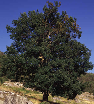 English Oak, Quercus robur, Quercus pedunculata