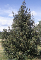 Holly Leaved Oak, Quercus ilex
