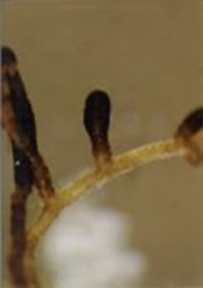 Close up view of mycorrhiza